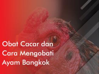 Obat cacar dan cara mengobati untuk ayam bangkok
