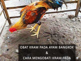 Obat Kram Pada Ayam Bangkok
